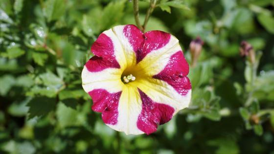 Blume mit Morgentau wallpaper