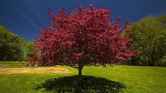 Pink spring tree wallpaper