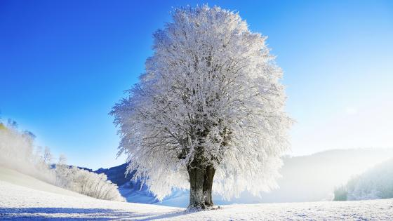 Hoary tree on a sunny winter day wallpaper