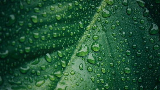 Wet leaf wallpaper