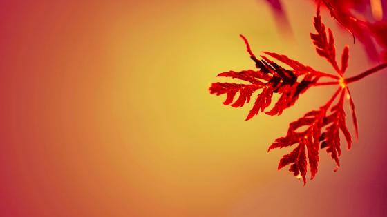 Red leaf wallpaper