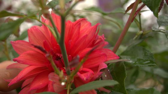 Red Indian Hibiscus wallpaper