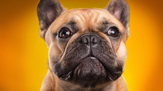 French bulldog wallpaper