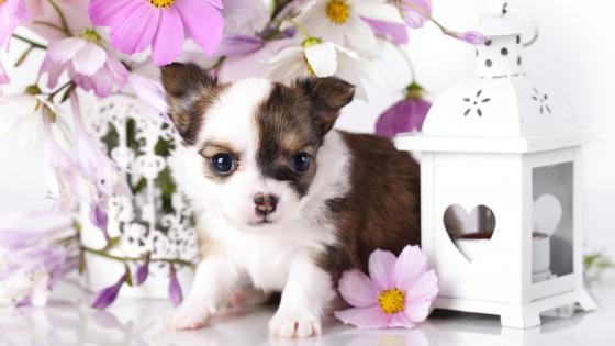 Chihuahua puppy wallpaper