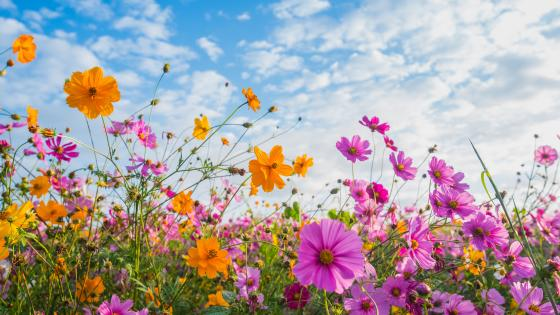 Flower field low angle view wallpaper
