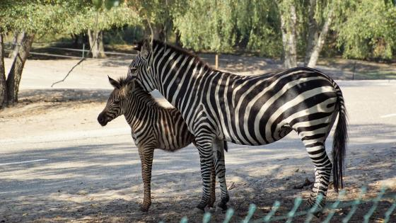 Zebra mother with child wallpaper