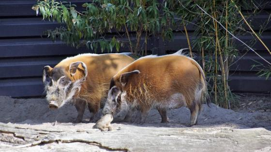 Bearded pigs wallpaper