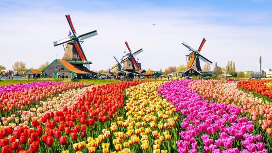 A tulip farm near to Amsterdam wallpaper