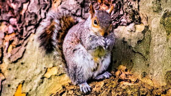 Squirrel on a tree bark wallpaper