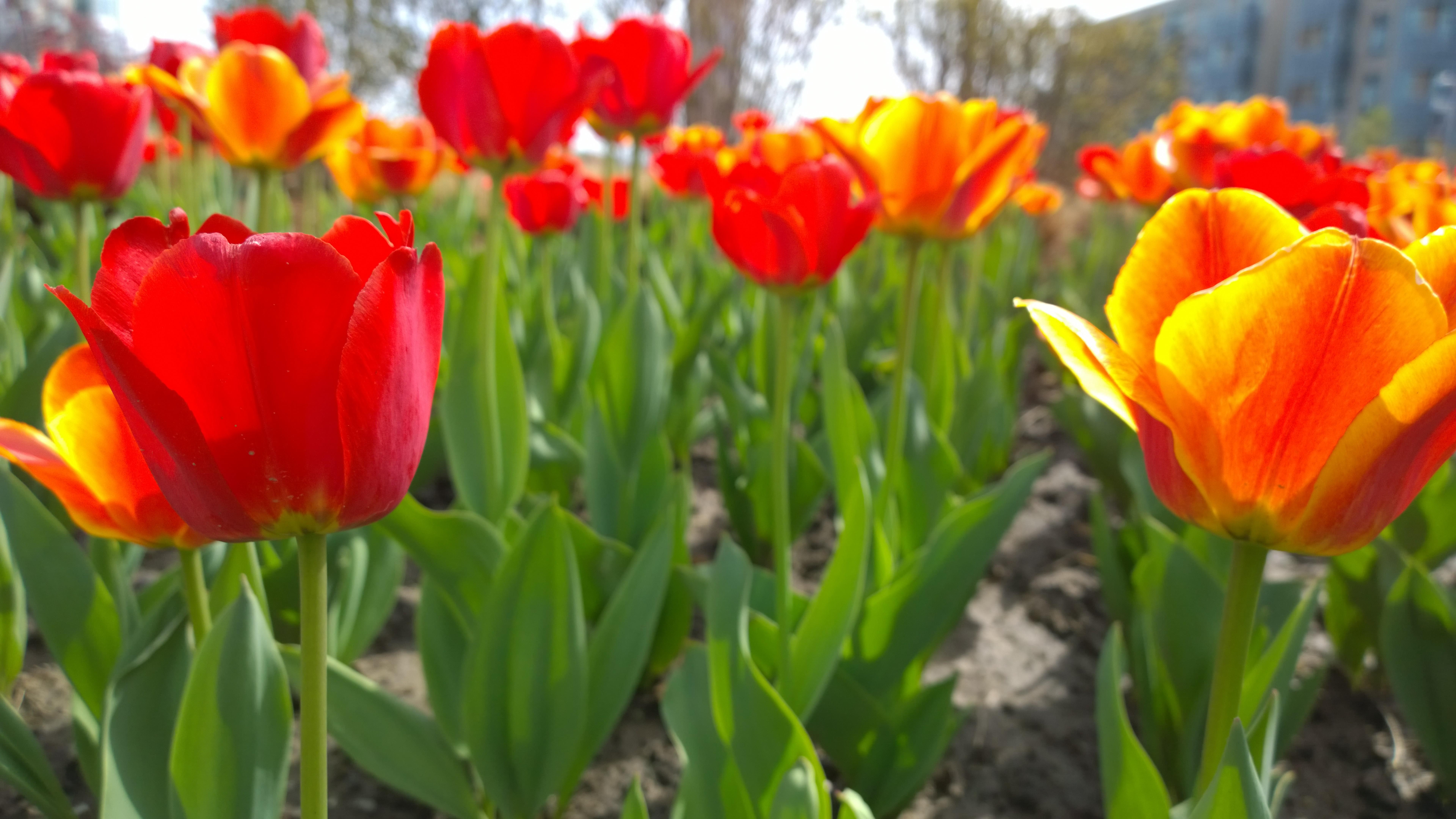 Tulips 8k Ultrahd Wallpaper Backiee Free Ultra Hd