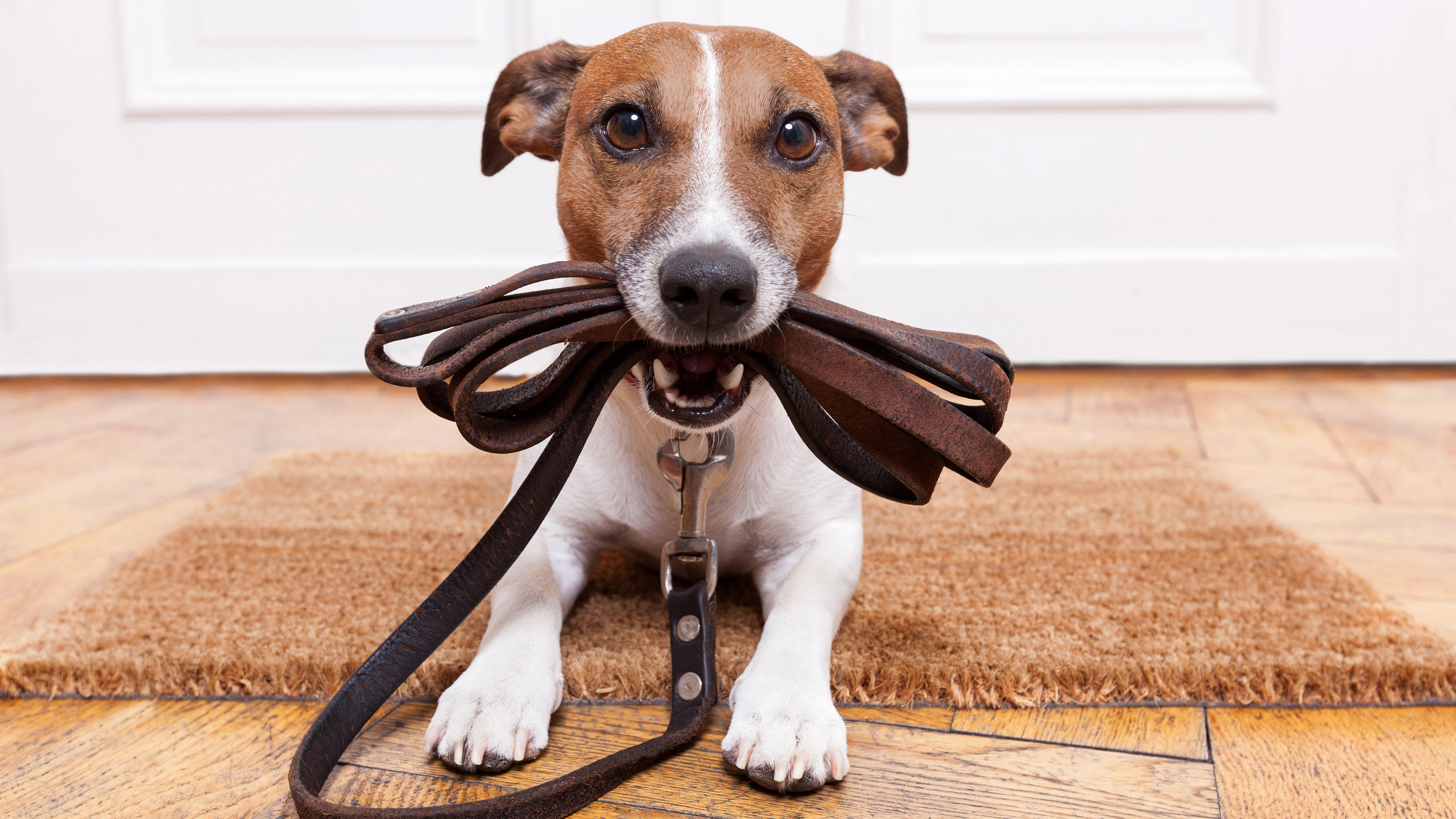 Jack Russell Terrier waiting to walk wallpaper