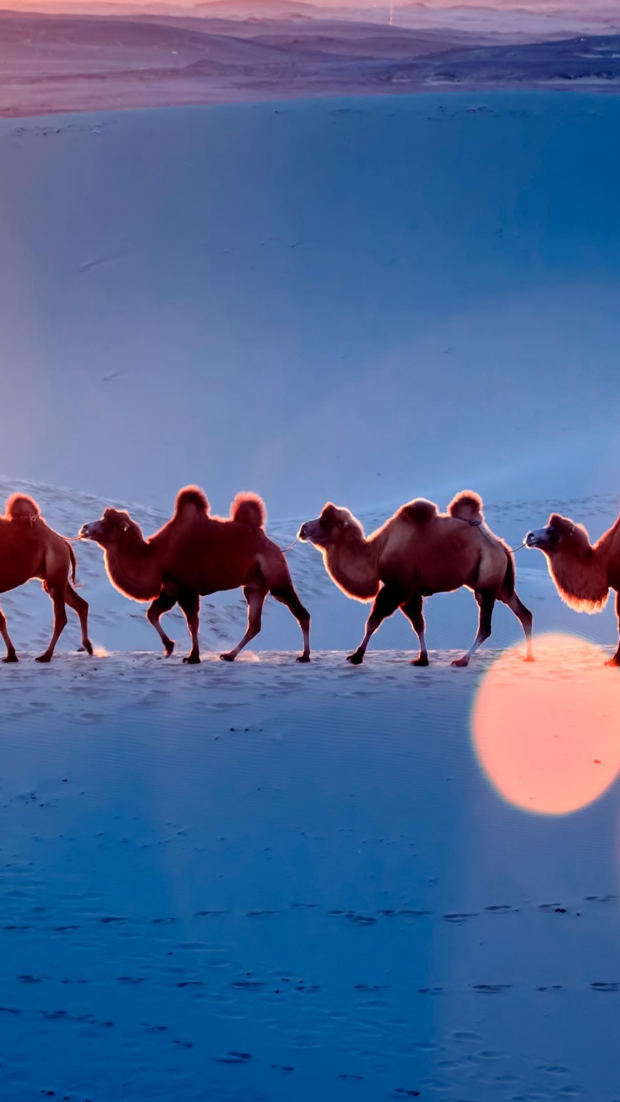Desert Camel Team 4K UltraHD Wallpaper - backiee