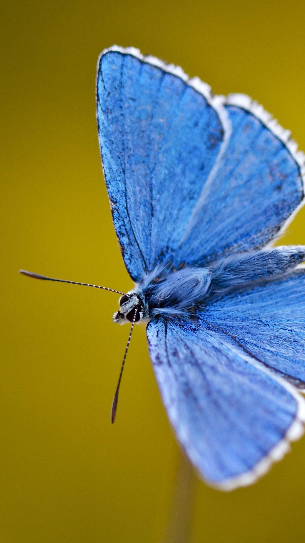 Blue Butterfly 4K UltraHD Wallpaper - backiee