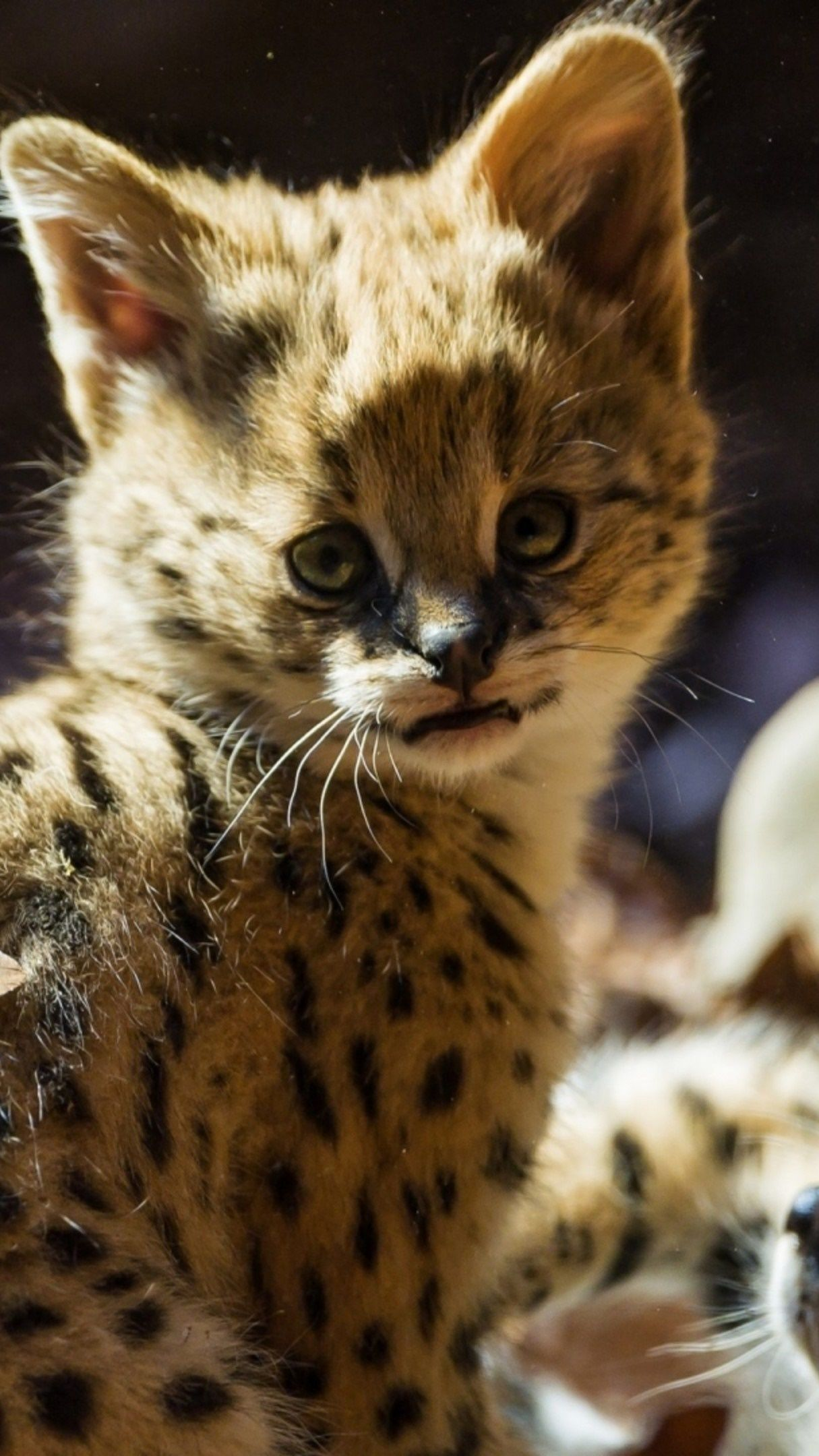 Cute baby jaguar 4K UltraHD wallpaper - backiee
