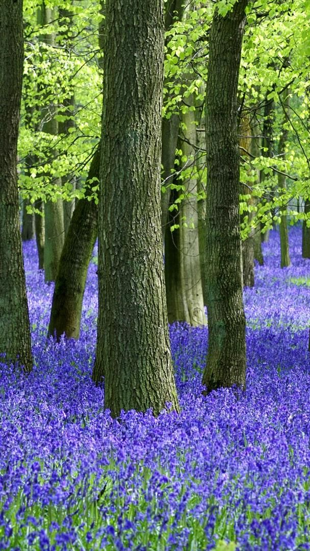 Bluebell Wood On Springtime Hd Wallpaper Backiee Free
